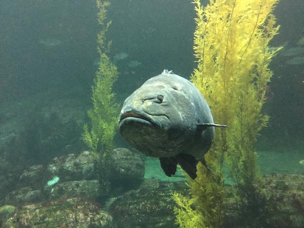 montfish